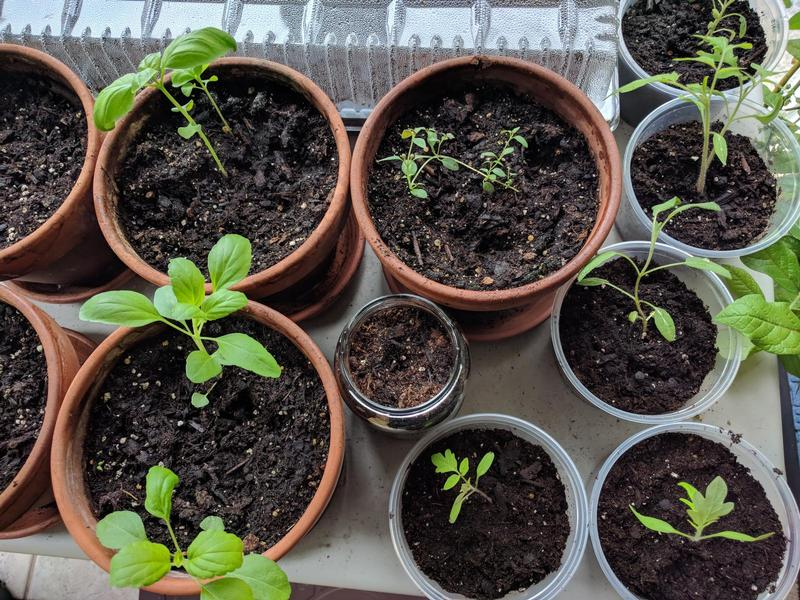 top down view of baby plants in small terracotta pots