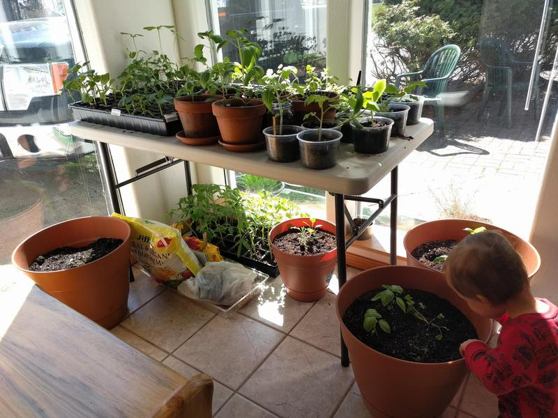 a table by a window with trays of seedlings and pots with small plants on top and trays of more seedlings underneath