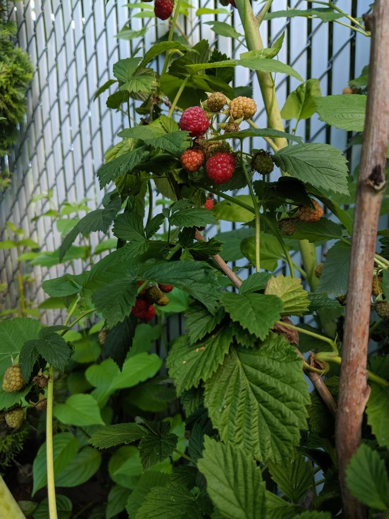 ripe red raspberries hidden under green raspberry leaves