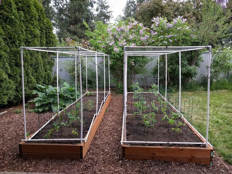 two raised garden beds with small tomato plants in cages