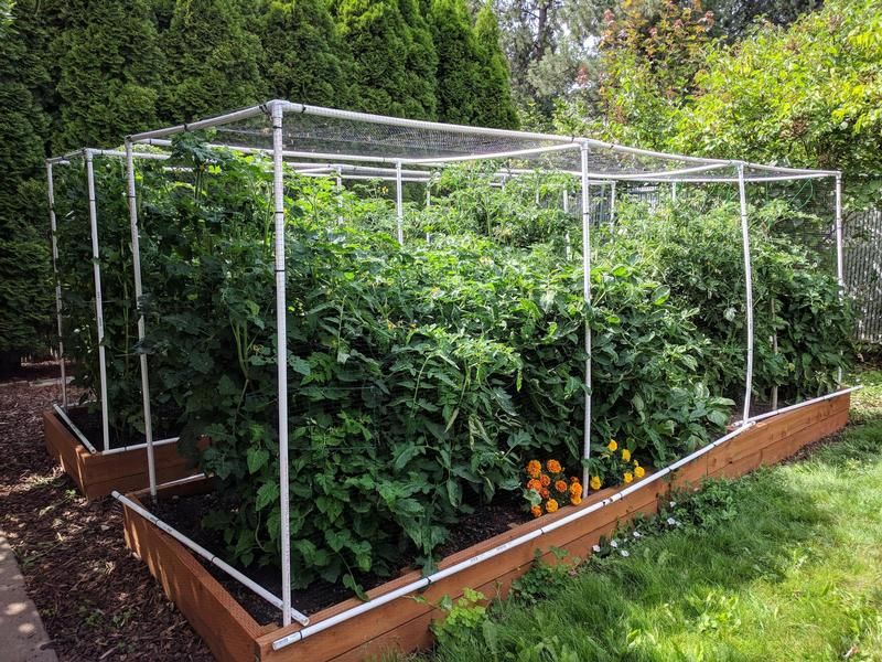 two raised garden beds with large tomato plants, taller than their cages, big and green and leafy