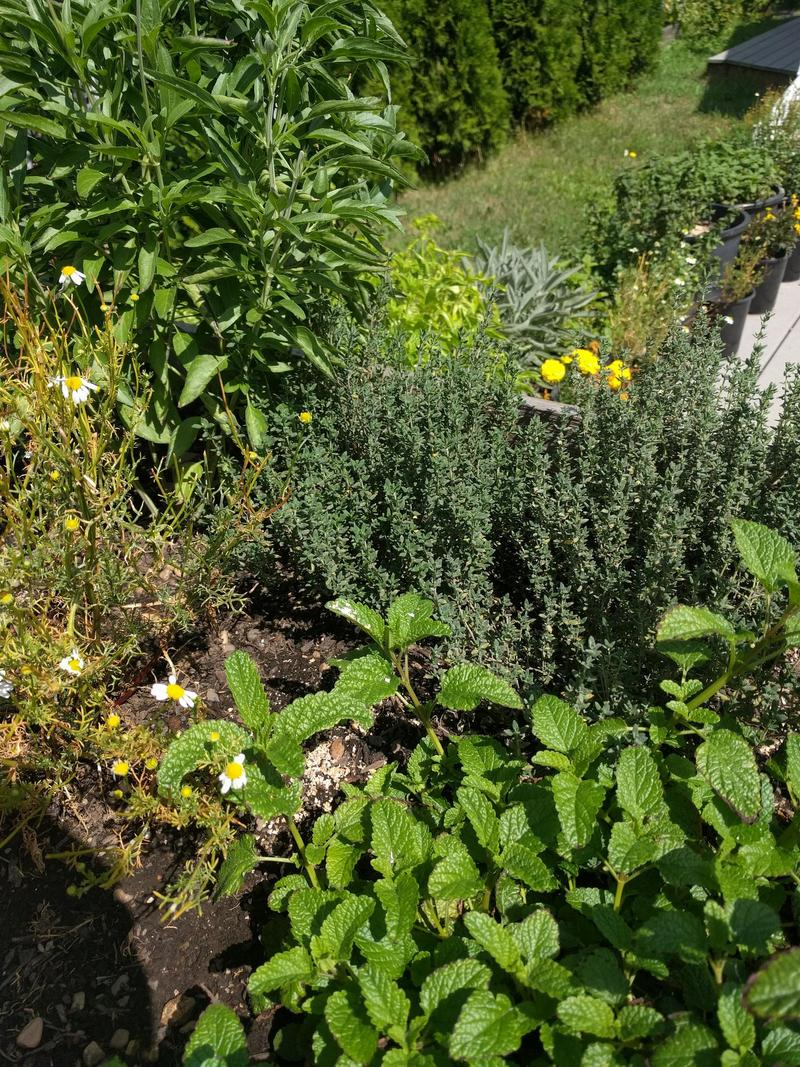 various herbs in a raised garden bed with containers of more herbs in the background