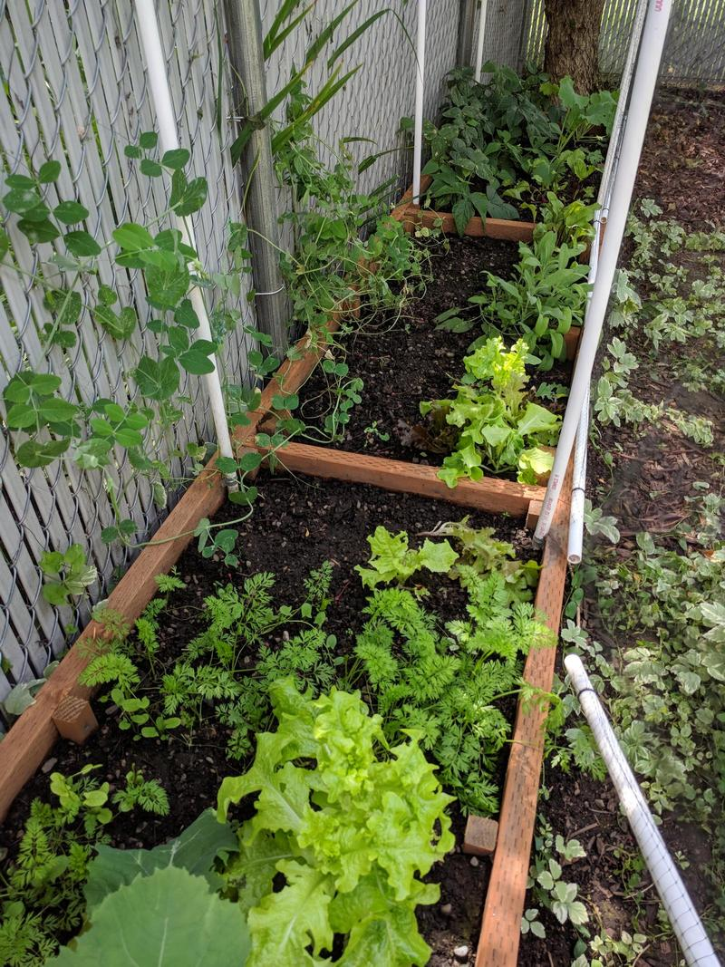peas, green beans, and lettuce growing in a shady raised garden bed