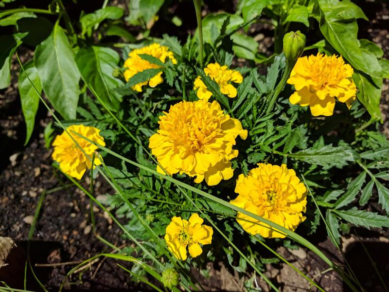 yellow marigolds in a garden bed