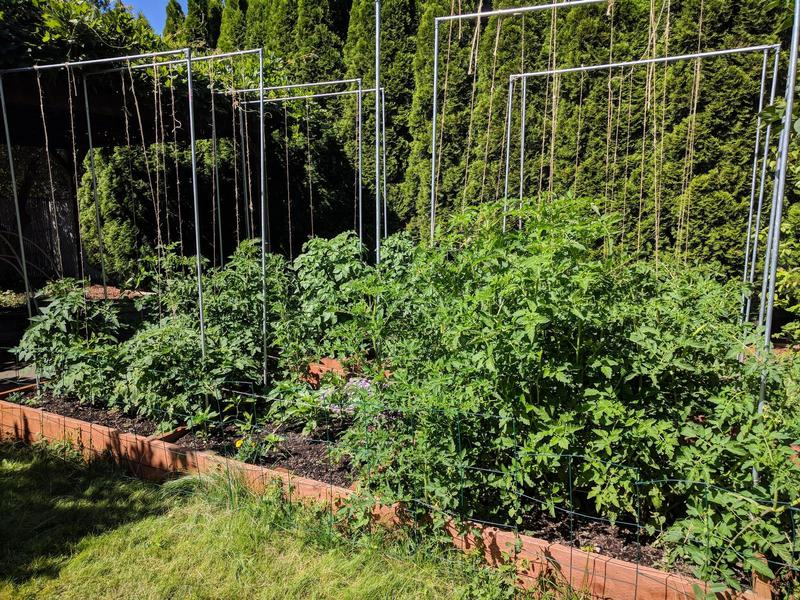 garden beds of tomato plants that are held up with twine, which hangs from a trellis made of electrical conduit and rebar