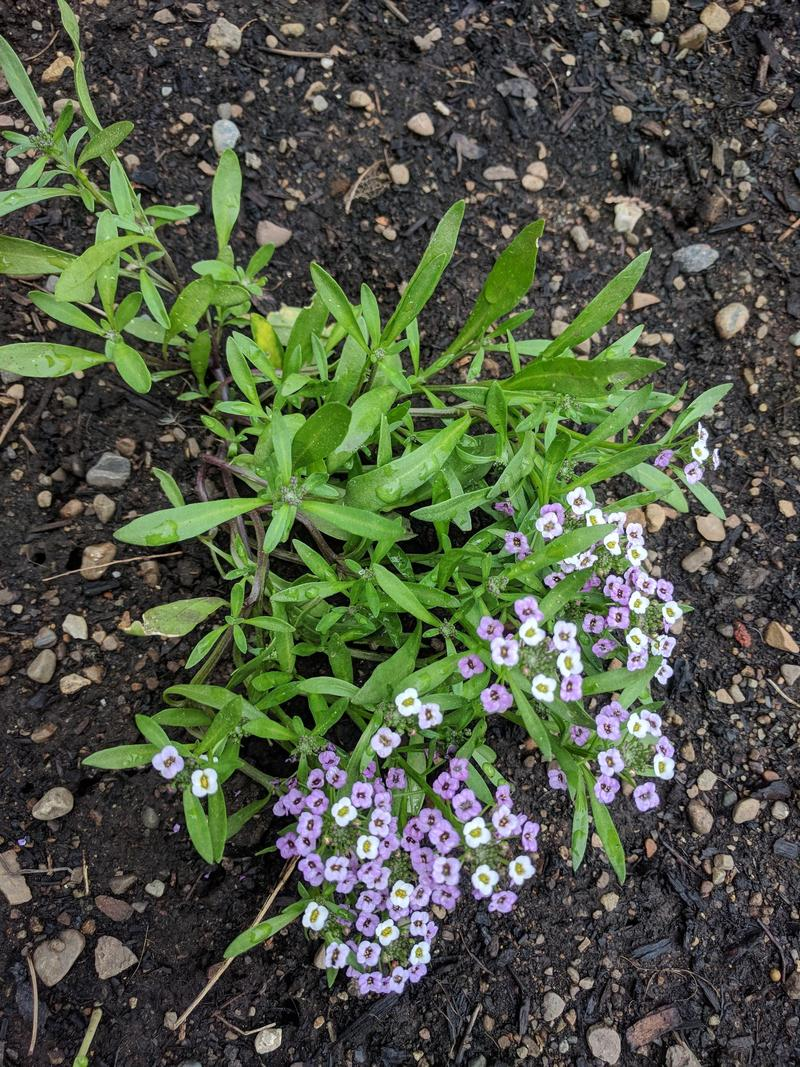 baby alyssum plant with small purple and white flowers