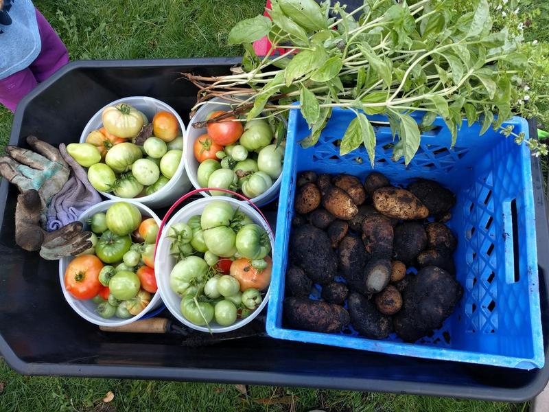 a wagon with green tomatoes in buckets, bunches of basil, and freshly dug potatoes in crates