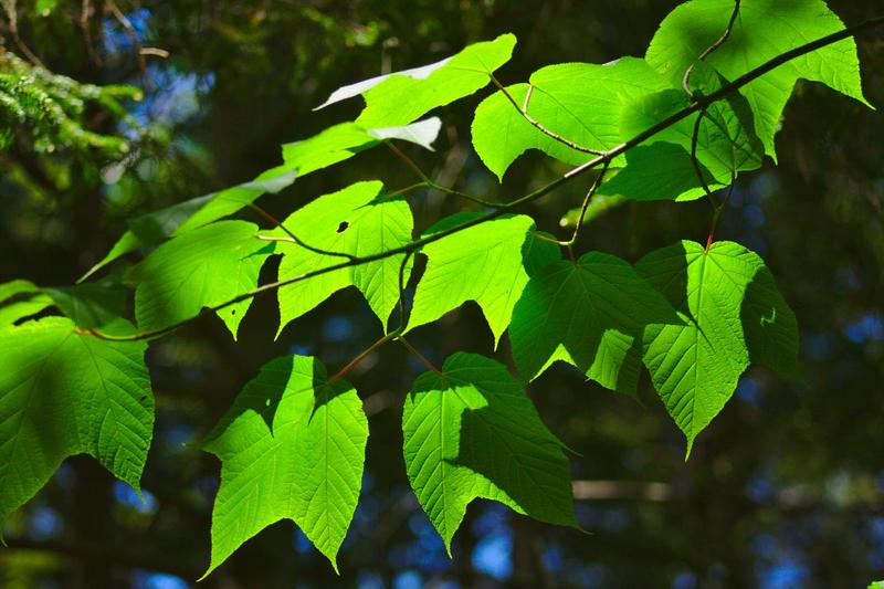 sunlight and blue sky behind wide green leaves